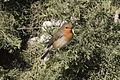 Erithacus rubecula - European robin, Adana 2016-12-10 05-1.jpg