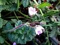 Erodium cicutarium subsp. dunense (Geraniaceae) - (flowering), Molenhoek, the Netherlands.jpg