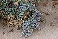 Eryngium maritimum - Martorn-3015 - Flickr - Ragnhild & Neil Crawford.jpg