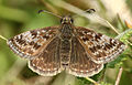 Erynnis tages, Dingy Skipper, Llanymynech Hill, North Wales, April 2014 (21689891521).jpg