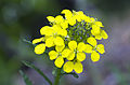 Erysimum odoratum flower.jpg