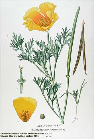 Eschscholzia californica - Botanical illustration