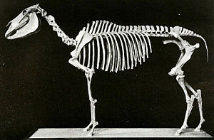 Equus scotti - A mounted skeleton of Equus scotti at the AMNH, constructed out of two skeletons.