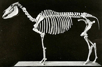 Equus scotti - A mounted skeleton of Equus scotti at the AMNH, constructed out of two skeletons