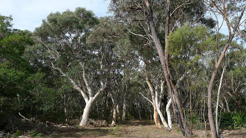 Eucalyptus signata (9622810704)