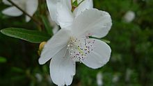 Eucryphia lucida Leatherwood flower.jpg