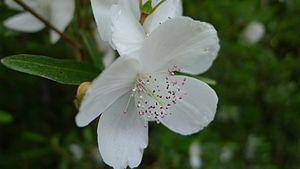 Eucryphia lucida - Flower, Montezuma Falls, Tasmania, Australia, 5 Jan 2012 by John Tann
