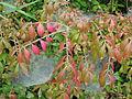 Euonymus alatus nanus (9994888856).jpg
