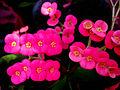 Euphorbia Flower show 15.jpg
