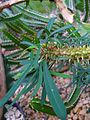 Euphorbia didiereoides 001.JPG