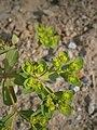 Euphorbia helioscopia RHu 002.JPG