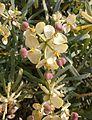 Euphorbia lamarckii 004.jpg