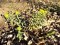 Euphorbia polychroma sl32.jpg