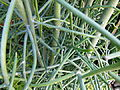 Euphorbia tirucallii 2.JPG