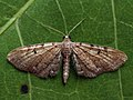 Eupithecia expallidata - Bleached pug (40944007371).jpg
