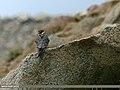 Eurasian Hobby (Falco subbuteo) (19819309211).jpg