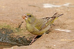 European greenfinch (Chloris chloris voousi) female.jpg
