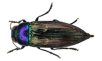 Buprestidae - Eurythyrea austriaca specimen (Buprestinae)