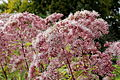 Eutrochium purpureum-IMG 6154.jpg