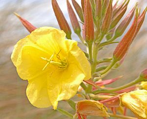 English: Evening primrose at Birkdale Evening ...