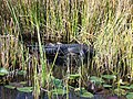 Evergladesgator2.jpg