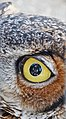Eye of the Owl, Living Desert 3-15 (16774220682).jpg