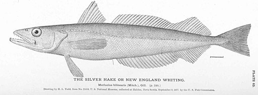 FMIB 50910 Silver Hake or New England Whiting
