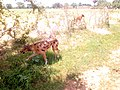 FULANI HUNTING DOGS IN FALGORE FOREST KANO STATE (11).jpg