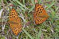 Fabriciana adippe pallescens (2 males).JPG