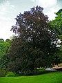 Fagus sylvatica purpurea 001.JPG
