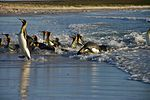 Falkland Islands Penguins 58.jpg