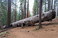 Fallen sequoia tree in Tuolumne Grove.jpg