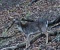 Fallow Deer Stag (45862534314).jpg
