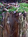 Fasern eines mit Moos bewachsenen Baumstumpfs.JPG
