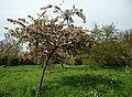Feeringbury Manor flowering prunus, Feering Essex England 05.jpg