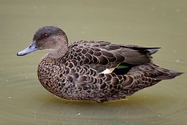 Female Chestnut Teal duck.jpg