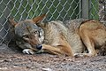 Female red wolf from St. Vincent prior to release at Alligator River (6351251650).jpg