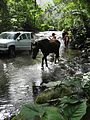 Feral Horses - Hawaii Waipi'o Valley.jpg