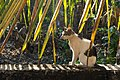 Feral cat in Corgao, Goa, India-2.jpg