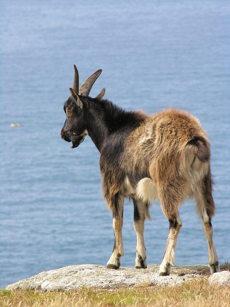 Feral goat (Lundy, 2006)