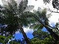 Fern Cyathea Aneitensis Tree Fern near Aneghowhat village Anatom (Aneityum) Vanuatu.jpg