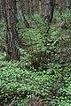 Ferns and Wood Anemones, Guisborough Woods - geograph.org.uk - 432540.jpg