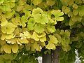 Feuilles de Ginkgo biloba en automne.jpg