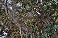 Ficus de la plaça del Centenar de la Ploma, València.JPG