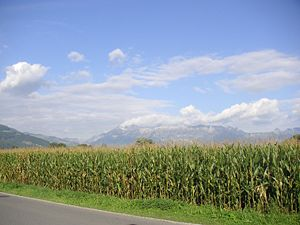 A corn field in Liechtenstein. Keywords: Field...