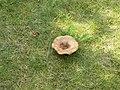 Fine fungus - geograph.org.uk - 1432670.jpg