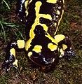 Fire Salamander (Salamandra salamandra) (36376603862).jpg