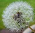 Flickr - Michael Gwyther-Jones - Dandelion.jpg