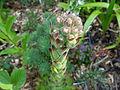 Flickr - brewbooks - Bloooming Succulent.jpg