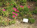 Flickr - brewbooks - Cephalophyllum alstonii.jpg